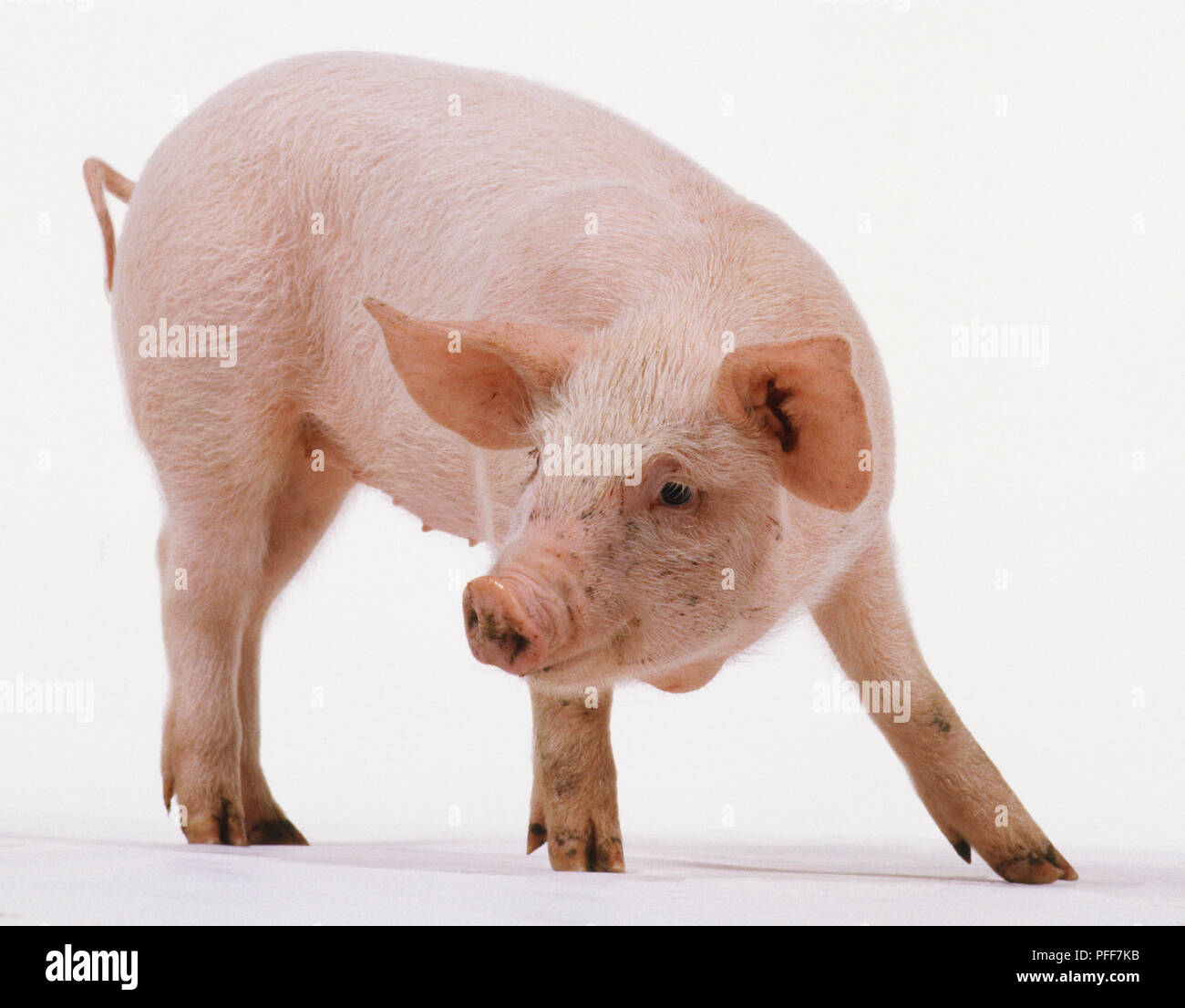 Piglet, aged 6 weeks, pink skin with fine white hairs, large ears, long snout, small eyes, four-toed, small tail, standing, neck bending around body, side view. - Stock Image