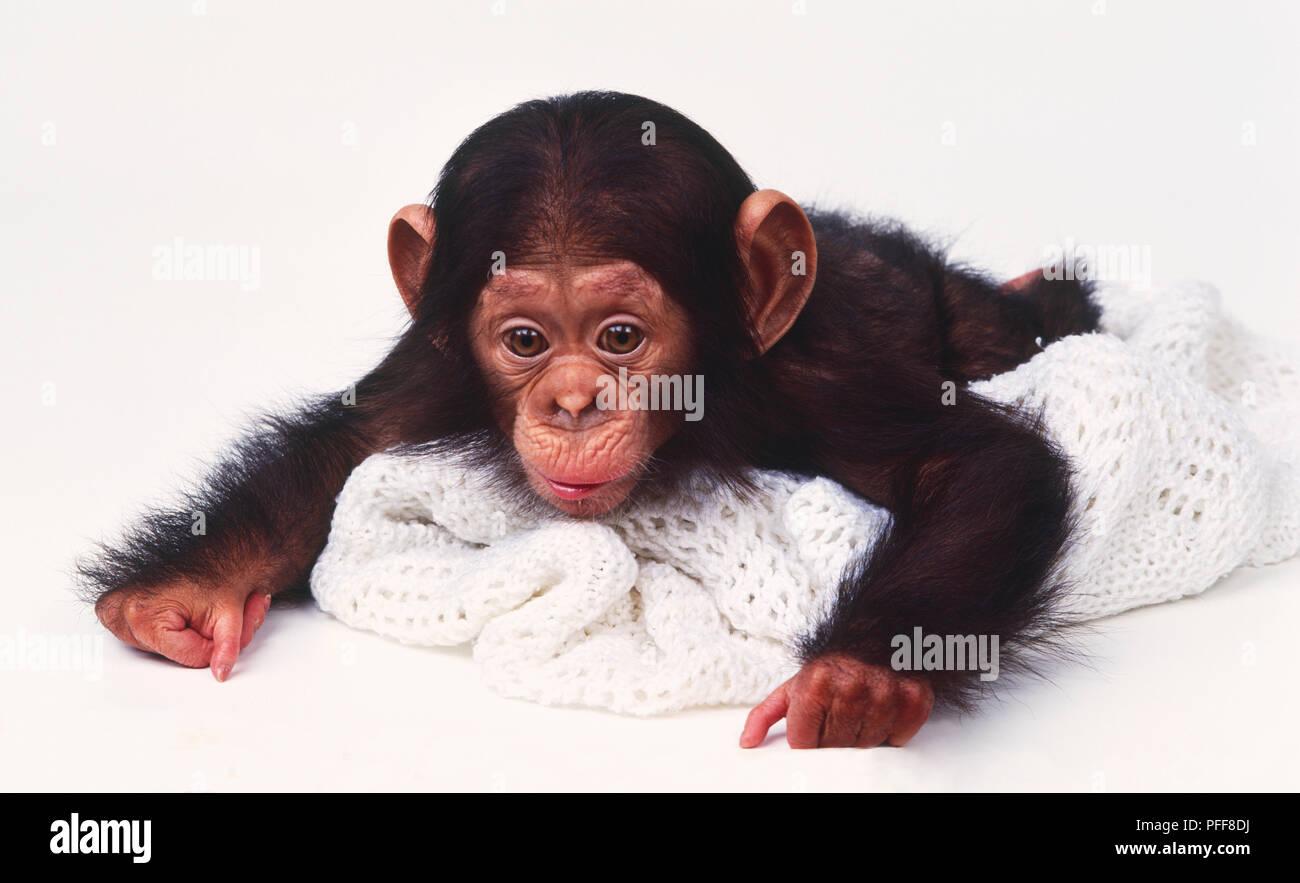 Baby Chimpanzee (Pan troglodytes) lying flat on white woolly blanket
