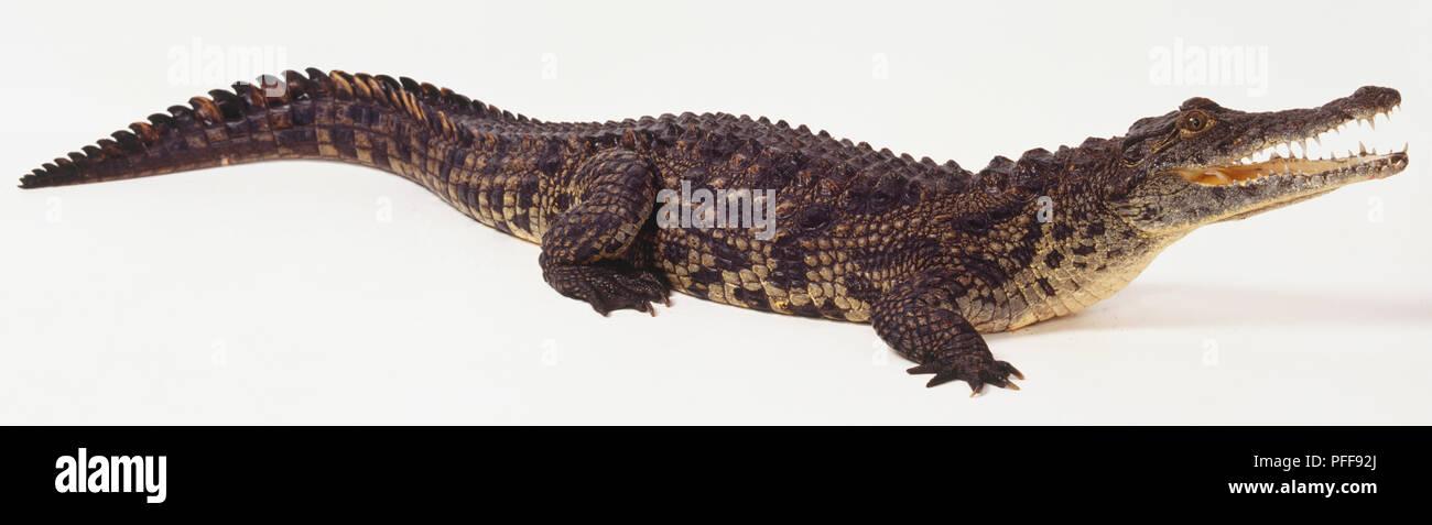 Profile of Nile Crocodile - Stock Image