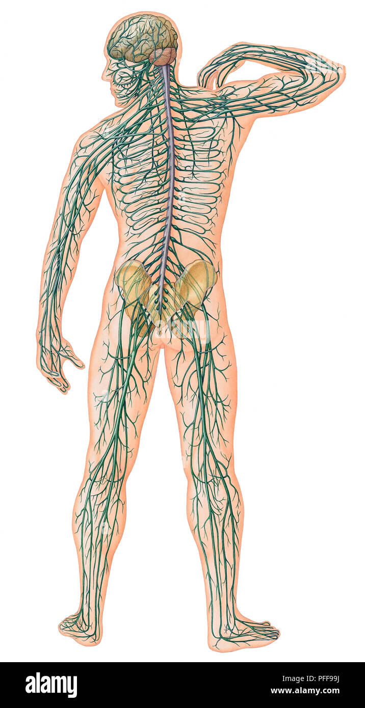 Rear View Of Male Body With Major Nerves Superimposed Stock Photo