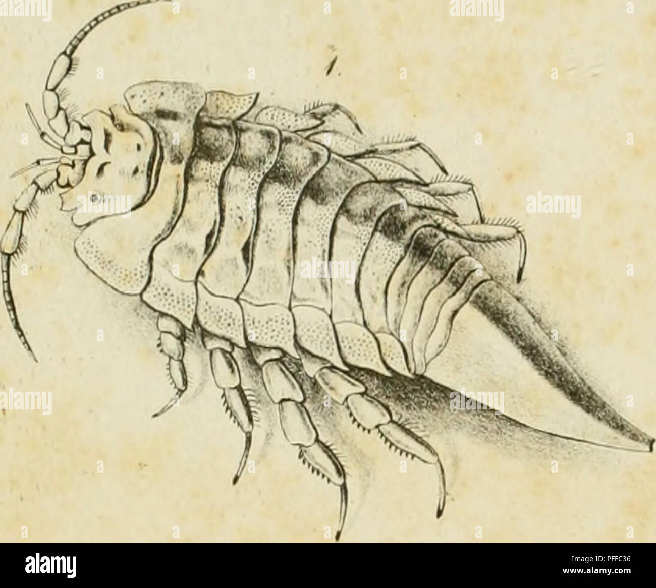 . D. Eduardi Eichwaldi, publ. ord. apud Casanens. Profess. Acad. Caes. Nat. Cur. Leop. Carol. mult. Societ. Liter. Socii, Geognostico-zoologicae per ingriam marisque Baltici provincias nec non de trilobitis observationes. Geology; Zoology; Paleontology. /.//. y. 1 r.. Please note that these images are extracted from scanned page images that may have been digitally enhanced for readability - coloration and appearance of these illustrations may not perfectly resemble the original work.. Eichwald, Carl Eduard von, 1795-1876; Kazanski universitet. Casani : Typis Universitatis Caesareis - Stock Image
