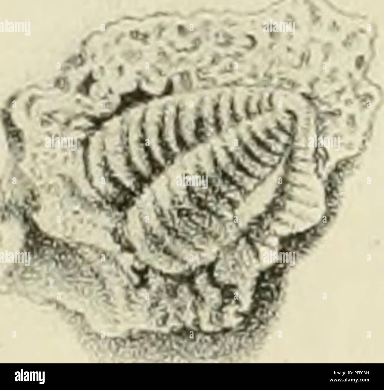 . D. Eduardi Eichwaldi, publ. ord. apud Casanens. Profess. Acad. Caes. Nat. Cur. Leop. Carol. mult. Societ. Liter. Socii, Geognostico-zoologicae per ingriam marisque Baltici provincias nec non de trilobitis observationes. Geology; Zoology; Paleontology. J-y. /. 6. _'-:''?&». //</ -.7. /.. Please note that these images are extracted from scanned page images that may have been digitally enhanced for readability - coloration and appearance of these illustrations may not perfectly resemble the original work.. Eichwald, Carl Eduard von, 1795-1876; Kazanski universitet. Casani : Typis Univers - Stock Image
