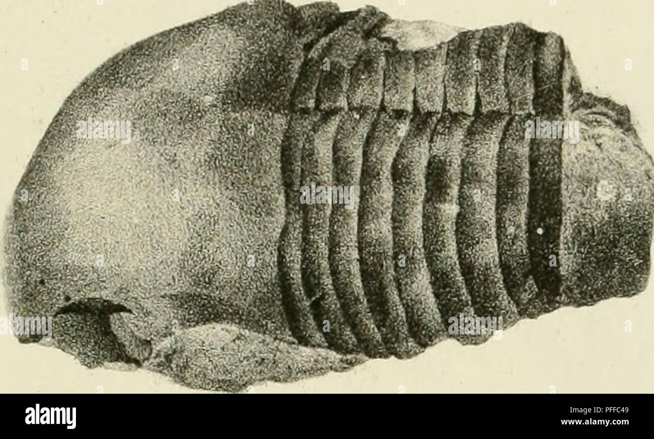 . D. Eduardi Eichwaldi, publ. ord. apud Casanens. Profess. Acad. Caes. Nat. Cur. Leop. Carol. mult. Societ. Liter. Socii, Geognostico-zoologicae per ingriam marisque Baltici provincias nec non de trilobitis observationes. Geology; Zoology; Paleontology. f-iif J. ./. Fra 3 />.. Please note that these images are extracted from scanned page images that may have been digitally enhanced for readability - coloration and appearance of these illustrations may not perfectly resemble the original work.. Eichwald, Carl Eduard von, 1795-1876; Kazanski universitet. Casani : Typis Universitatis Caesareis - Stock Image