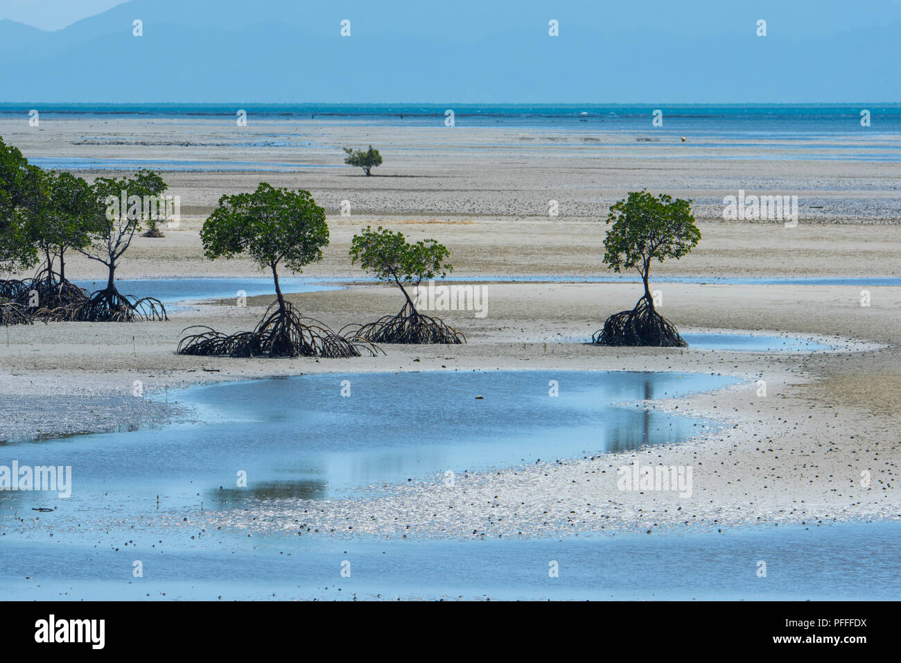 Coastal mangrove with roots exposed at low tide, Yule Point near Port Douglas, Far North Queensland, FNQ, QLD, Australia - Stock Image