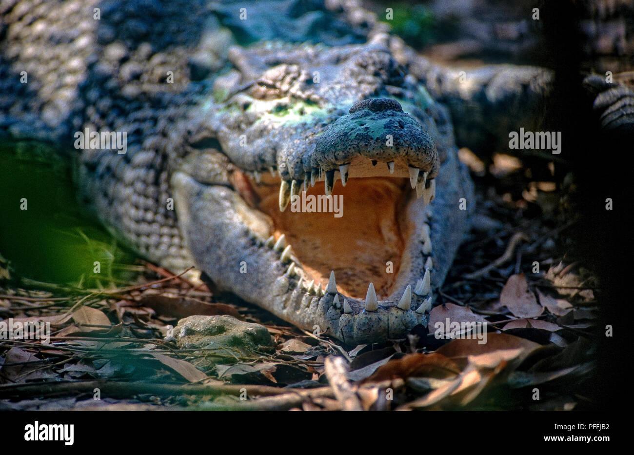 Australia Nothern Territory Darwin  Kakadu National Park - Crocodile Stock Photo