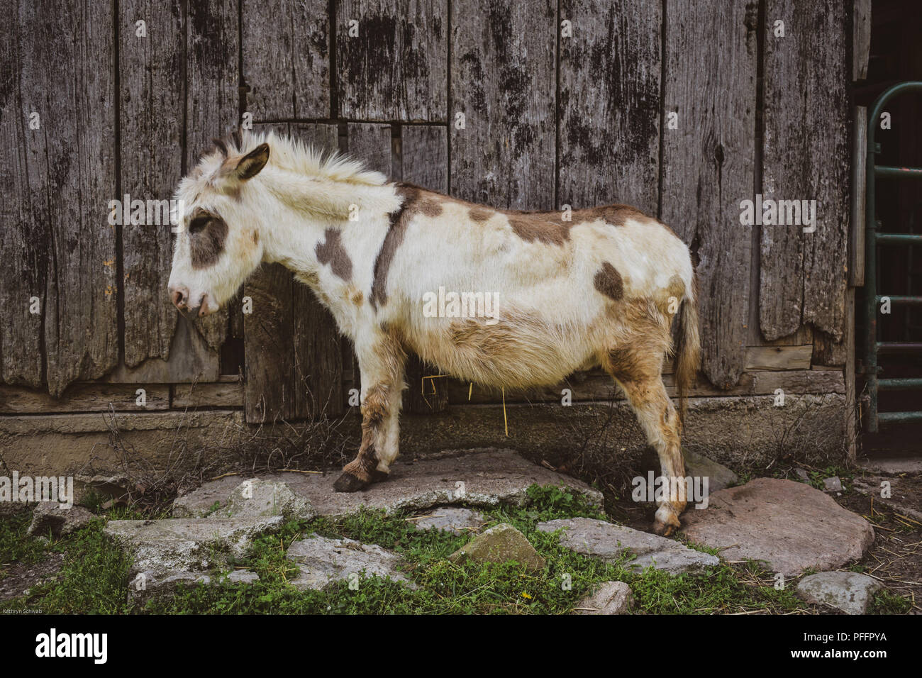 Brown and White Miniature Donkey in Front of Barn Stock Photo