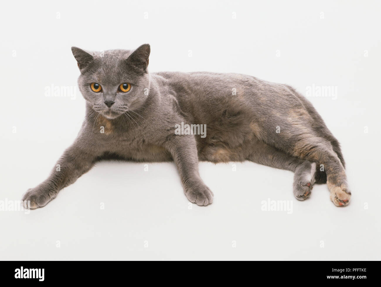 British Blue and Cream Cat (Felis catus) lying on its side, facing forward, with its paws out front, side view - Stock Image