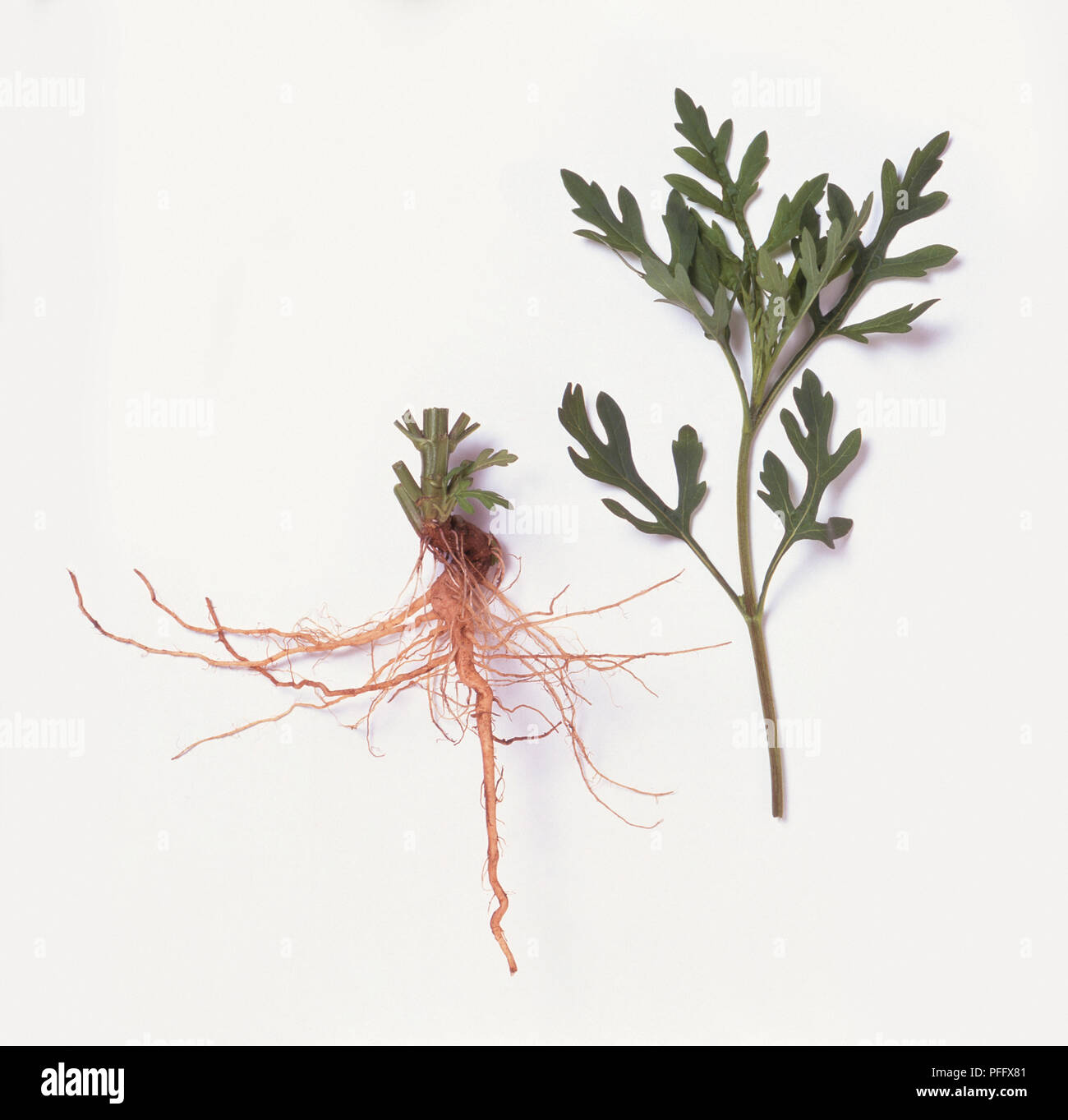 Roots and leaves from Ambrosia artemisiifolia (Common ragweed), close-up Stock Photo