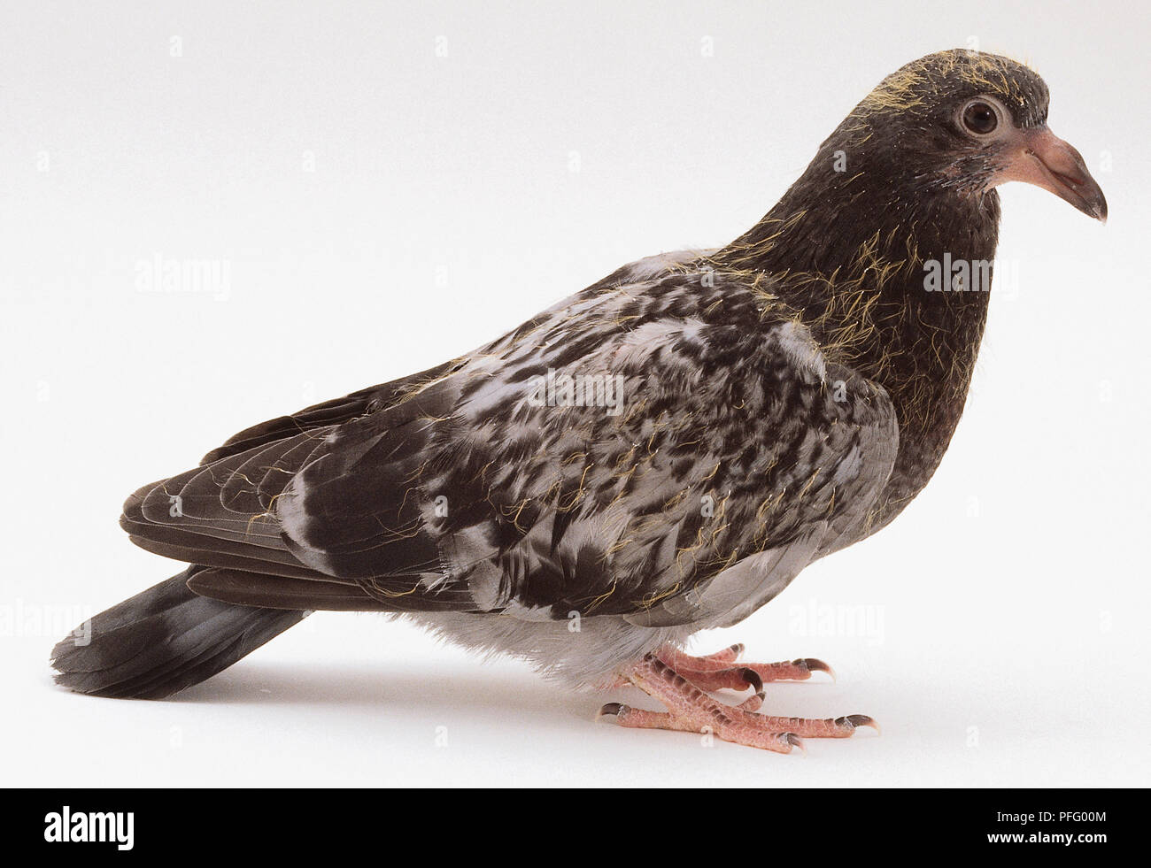 Two week old street pigeon, with relatively little yellow plumage remaining. - Stock Image