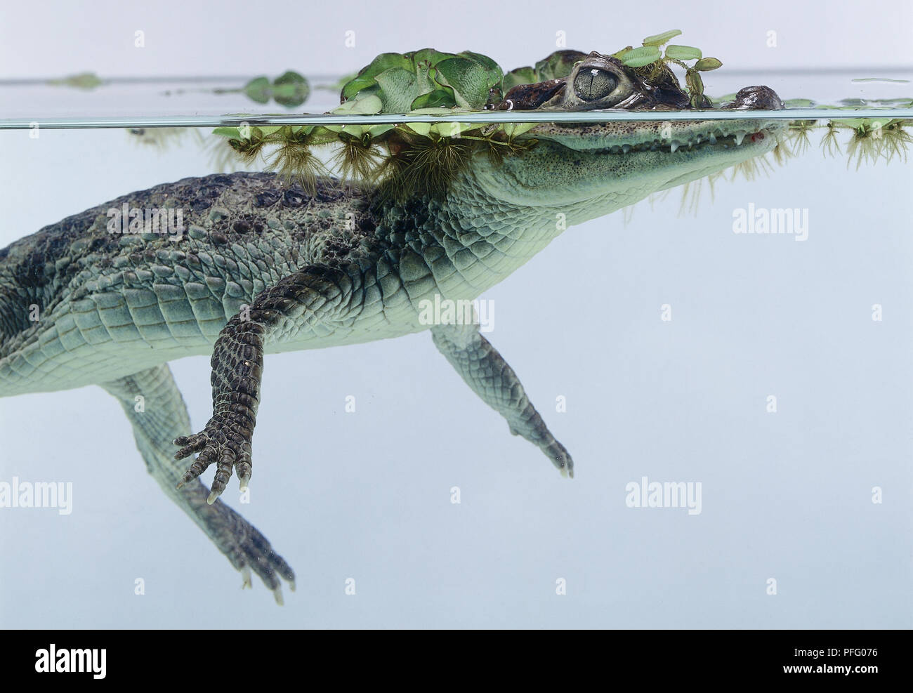 Side view of Spectacled Caiman, Caiman crocodilus, with head half-submerged covered in water weed. - Stock Image
