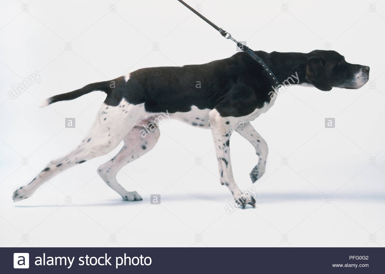 Pointer Dog pulling on lead - Stock Image