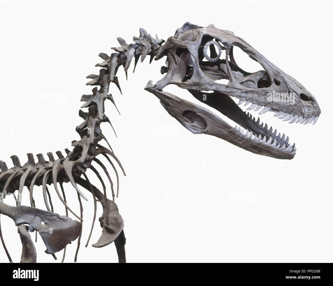Skeleton of a Deinonychus - Stock Image