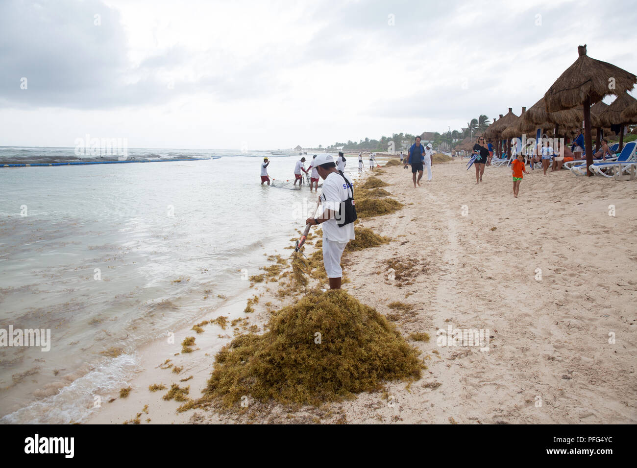 Workers remove Sargassum seaweed at Gran Bahia Principe Beach near Tulum, Quintana Roo state, Mexico on August 17, 2018. Sargassum—a brown seaweed that lives in the open ocean—has overwhelmed shorelines along the East Coast of the United States, Gulf of Mexico, and the Caribbean. Researchers say that the Sargassum outbreak started in 2011, but it has become worse over the years andcould cause a serious environmental disaster. As the Sargassum is cleaned up on the shorelines, in a matter of days the shorelines are once again filled.When the Sargassum seaweed lands and starts to decompose, a t - Stock Image
