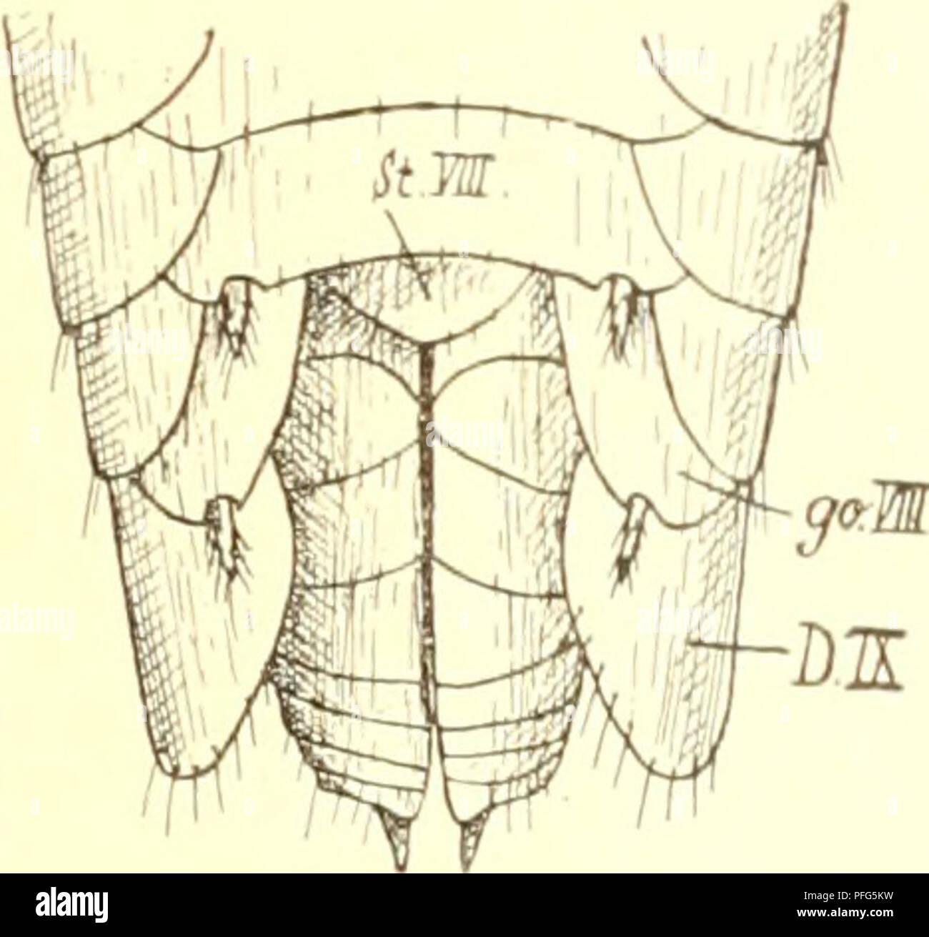 . Das system der lepismatiden. Lepismatidae; Thysanura. — 147 — deutlich gegliederten Ovipositor und die goldgelbe Färbung. Die nahe Verwandtscha sudanensis und wheeleri ist um so auffälliger, als beide bezüglich der Lebensweise und geo graphischen Verbreitung so sehr verschieden sind: erstere ist termitophil und äthiopisch letztere myrmecophil und nearktisch. Das einzige wurde von J. Trägardh zu Kaka Sud,m bei Termes natalensis 11.w gefangen. 5. Atelura desneuxi n. Fig. 66a—c.) Von Herrn Desneux-Brüssel wurde mir eine termitophile Atelura aus Java in gn Anzahl eingesandt, welche sich durch me - Stock Image