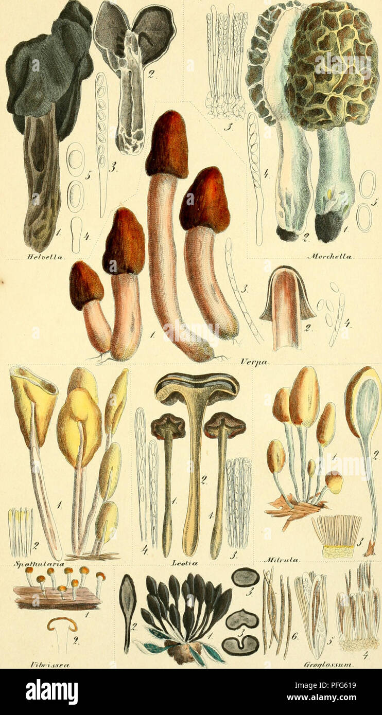 . Das System der Pilze. Durch Beschreibungen und Abbildungen erlutert. Fungi; genealogy. HyiiLeTioiiirre^es Eucfosporae. OctosjJorüfc^L Milrati. Tabll.. l/ibrissect^ Grffßlotysum.. Please note that these images are extracted from scanned page images that may have been digitally enhanced for readability - coloration and appearance of these illustrations may not perfectly resemble the original work.. Nees von Esenbeck, Theodor Friedrich Ludwig, 1787-1837; Henry, A. (Aim), 1801-1875; Bail, Theodor, 1833-1922. Bonn, Verlag des Lithographischen Instituts der Rheinischen Friedrich-Wilhelms-Universi - Stock Image