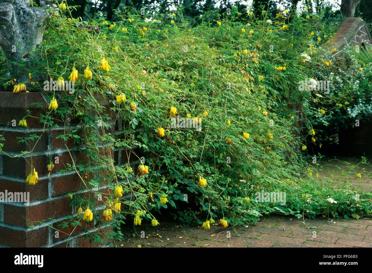 Dicentra Scandens Bleeding Heart Vine With Yellow Flowers And
