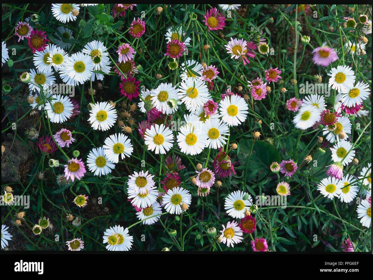 Erigeron Karvinskianus White Flowers Growing In Grass View From