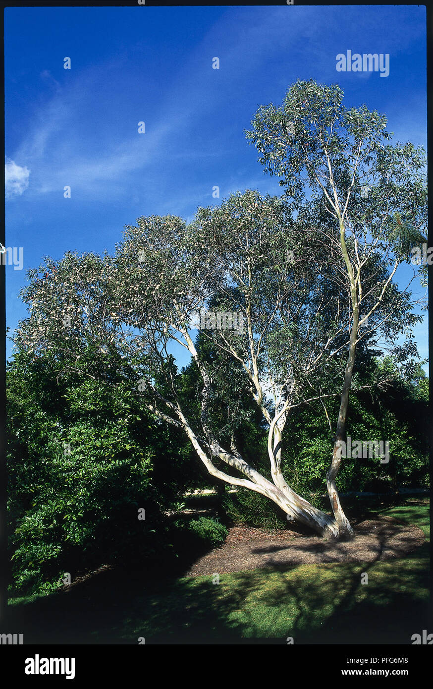 Eucalyptus pauciflora ssp niphophila (Alpine snow gum), tree in park - Stock Image