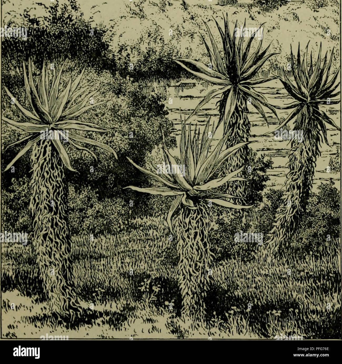 . Das Leben der Pflanze. Plants; Plants; Plants; Phytogeography. 482 %ie tropifc^en ^flonjenformationen. :>^fii .^^^ .%: einen Sd^u^ gegen bte ait§troc!nenbe 2Bir!ung be§ SBtnbe§ barfteflt, fd)etnt einleuc^tenb, bo nur bte fc^molen Seiten ber i^lronen ifjr auSgefe^t finb. 2luc^ im Saoannentüalb finben firf) ßianen redjt l^Qufig, bocfi längft nicf)t in fo reicher 2lu§bilbiing luie im immergrünen Stegenmalbe; metft finb fie nur binbfaben» big fingerftorf, fe^r feiten armbicf (5lbb. 142). SSon ber großen SRoffe ber Uriralb=@pis plagten üermögen nurmenigebefons ber§ jeropl^il or» ganifierte, in - Stock Image