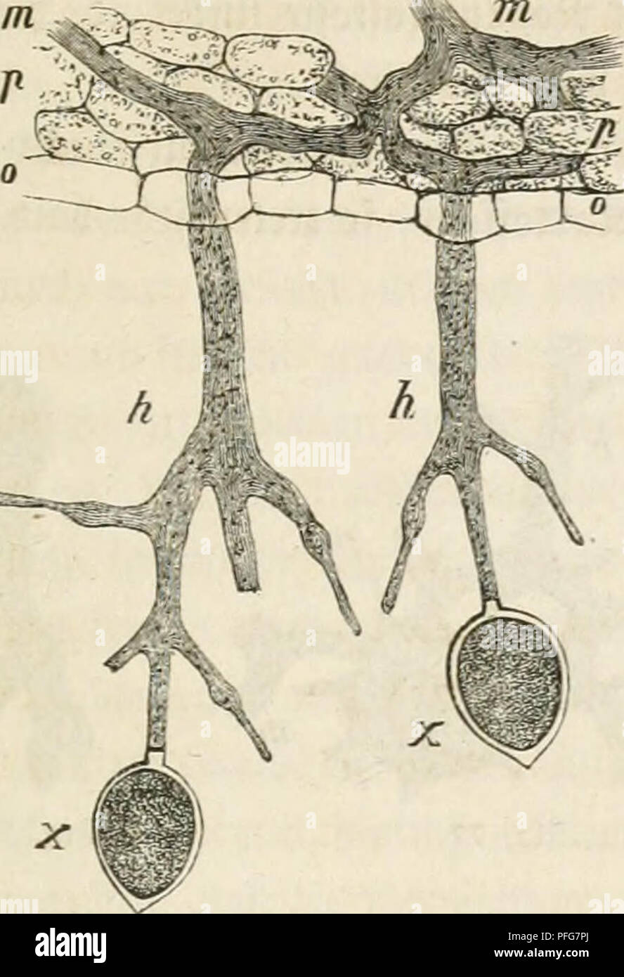 . Das Mikroskop; ein Mittel der Belehrung und Unterhaltung für Jedermann sowie des Gewinns für Biese. Microscope and microscopy. in ben 33lättcnt bei Äartcffdu. 217 weiter ipäcf)ft o luii: 4,, fid) üer^irctgt mir ^,mn 9Jh)ceüum rer fünftigen i^flan^^c entancfelt. I)er 3nf)a(t tcö Äehnbläöc^ene u>an= bevt ta6ei aUnuif^ücf) in ten Ä'eim]cf)(auc6, [c tap in jenem junäcf)]'! P. Please note that these images are extracted from scanned page images that may have been digitally enhanced for readability - coloration and appearance of these illustrations may not perfectly resemble the original work.. - Stock Image