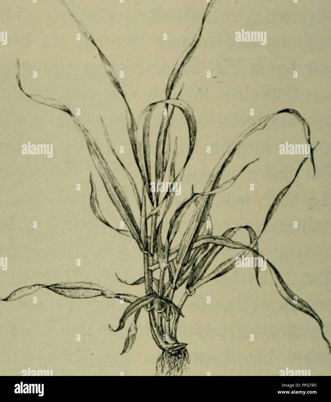 ". Das Leben der Pflanze. Plants; Plants; Plants; Phytogeography. 9Ibli. :u. (Serfte (5rül)e (8olßtl)orpe). ^^cftocfung. (Hfirt)ii'i»9 iHin 9J. Ceffingev.» liefern ein jur Fütterung geeignete^ ©trol), bn5 bei ben ©ommerformen mihx ge» fcf)äl3t mirb. ^ie in Sübroeftafien, nad) neuen ^unben aber oud) in 'Oiorbafrifa n)ilb = n)arf)fenbc®erftc mit 5erbved)lid)er ©pinbel (Hordeuni spontaneum C ^od)) fe()en .^""^od) unb ilörnicfe qI§ Stammform unfcrcv ©erftcn nn. C^emifi i[t, baJ3 (>)er[te lüie ^öeijcn fef)r alte ^ulturpflanjen finb, bcren erfte ^ulli= uierung [id), eben megcn it)re§ f)of)en 5 - Stock Image"