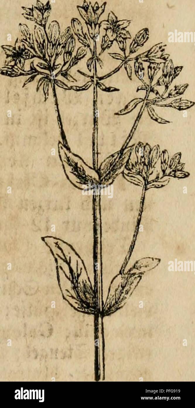 . Das grosse illustrirte Kräuter-Buch : eine ausführliche Beschreibung aller Pflanzen, mit genauer Augabe ihres Gebrauchs, Nutzens und ihrer Wirkung in der Arzneikunde. Medicinal plants; Materia medica, Vegetable; Herbs. ^aufenbbUtt — SCauf^nWpin. 579 ^uvvot^c SBtumcn; tocld)e in jc^onen Duirlen oben am ©tcngel ^erum fi^en, unb tjon »iencn flci^ia bcfuci)t werben. Söirb üou ©d)afen unb .Biegen gefrcffcn unb ift jung alä C^ennije brauchbar; j^>dtcr tiec^t e§ unan(^oucl)m unb bicnt jum SJ er treiben ber iföanjen. 33lattcr unb Slütljen (H. et F. Lamii rubri s. purpurei), fmb ^cl)r mrf'- fam be Stock Photo