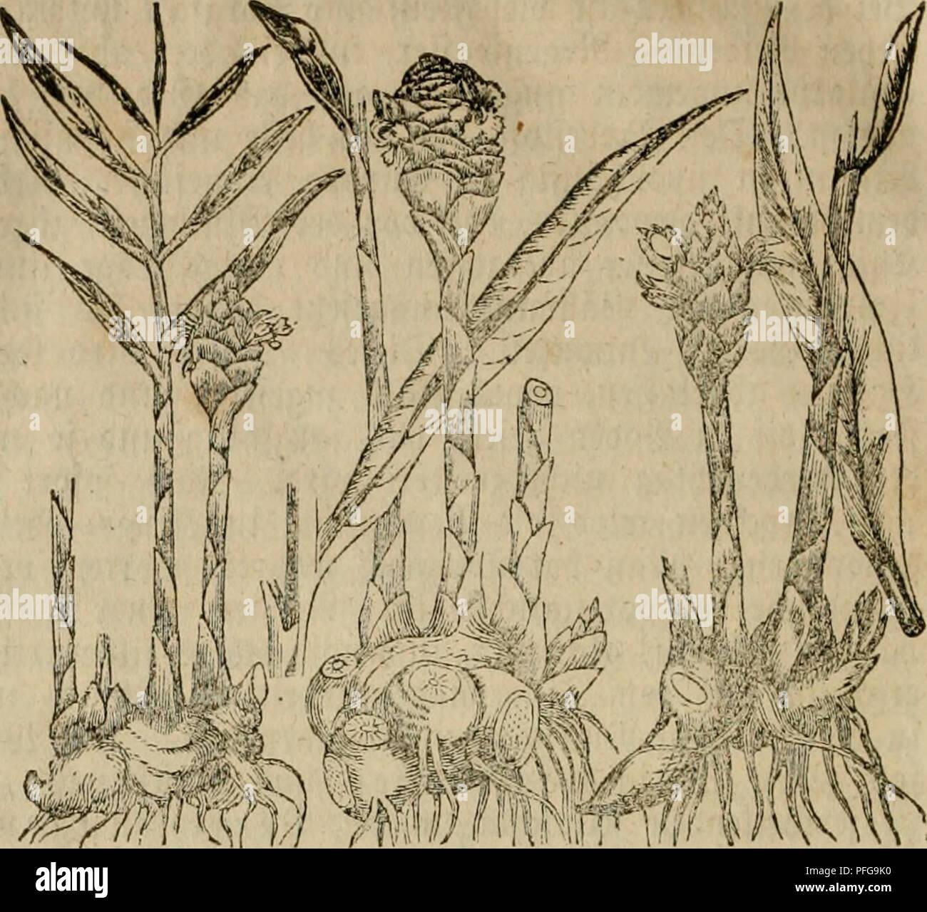 . Das grosse illustrirte Kräuter-Buch : eine ausführliche Beschreibung aller Pflanzen, mit genauer Augabe ihres Gebrauchs, Nutzens und ihrer Wirkung in der Arzneikunde. Medicinal plants; Materia medica, Vegetable; Herbs. 276 3nfulflttct ^tinc — 3o^rtn!ti«^Jto^.. im 3 n g »x> e r. laip^iger SBetfrone; btcifad^erifict' f[eifd)igev ^a^fcl 5Htcu: ®c = iräuc^lici^cT ^itön^er (Z. of- ficinale), {%i(. 4), mit ftto% gcficbettcin, tricc^eiibcm, jufammen^ gebrütftcnt, fhiöcrSbicfcm, au^cn grauem, innen lüci^cm 3Surjelftcc!c, lanacn Sßnrjelfafern; cin]äl)ri(cn, fal)len, 3-4 %u^ ^ot)cn 23Idttcr^ ftcn - Stock Image