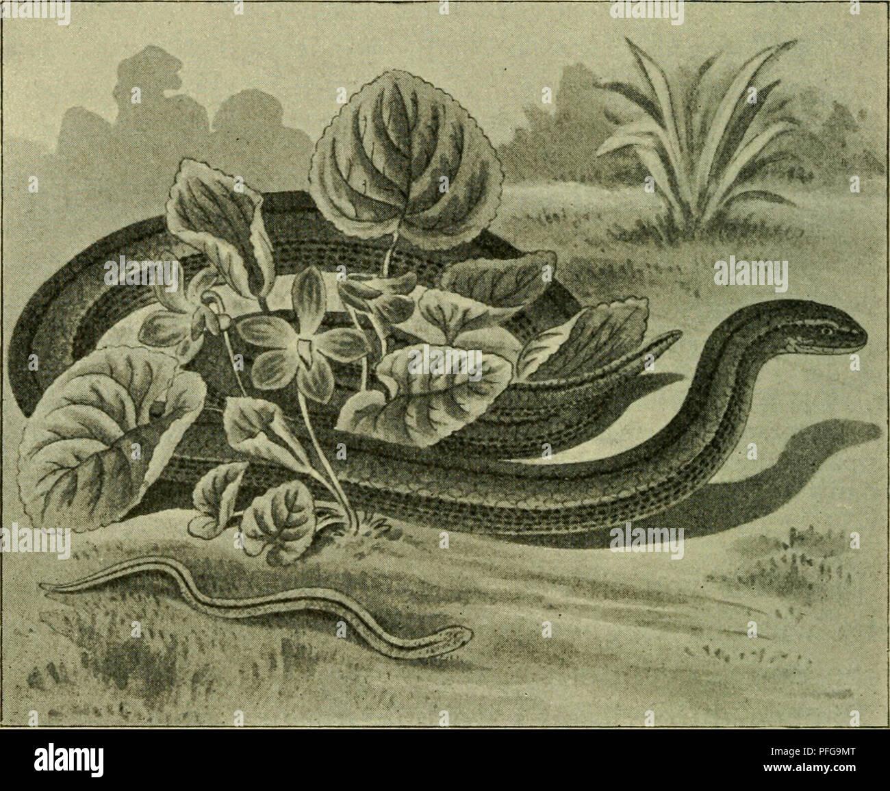 . Das Leben unserer heimischen Lurche und Kriech Tiere im Kreislaufe eines Jahres. Amphibians; Reptiles. — 62 — frosch und der Taufrosch, wie man dies leicht an ge- fangenen Springfröschen beobachten kann, die sehr rasch zutrauhch werden, kennzeichnet er sich uns im Freien schon durch seine graziösen, hohen und weiten Sprünge, zu denen ihn seine schlanken Langbeine befähigen. Sätze in der Höhe von fast 70 cm und 2 m Weite sind da nichts Seltenes.. Abb. 15. Blindschleiche; unten ganz junges Tier. Während der Moorfrosch höchstens 7 cm lang wird, wird der Springfrosch gegen 9 cm lang. Die häufigs Stock Photo