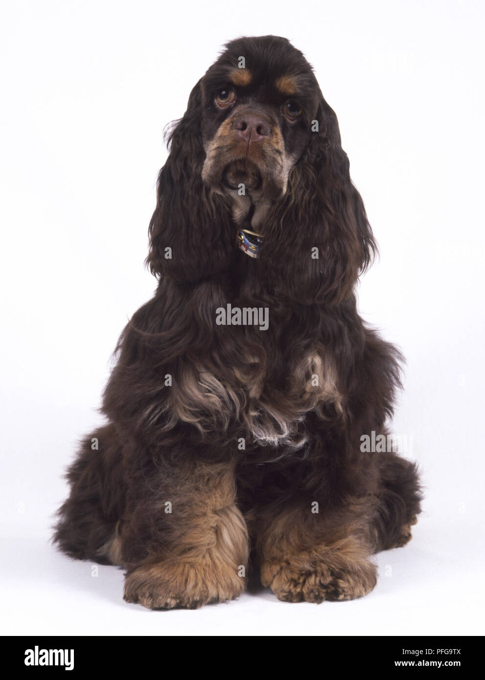 Cocker Spaniel Puppy Training Stock Photos Cocker Spaniel