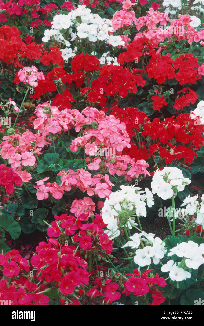Pelargonium Multibloom Series Profusion Of Pink White And Red