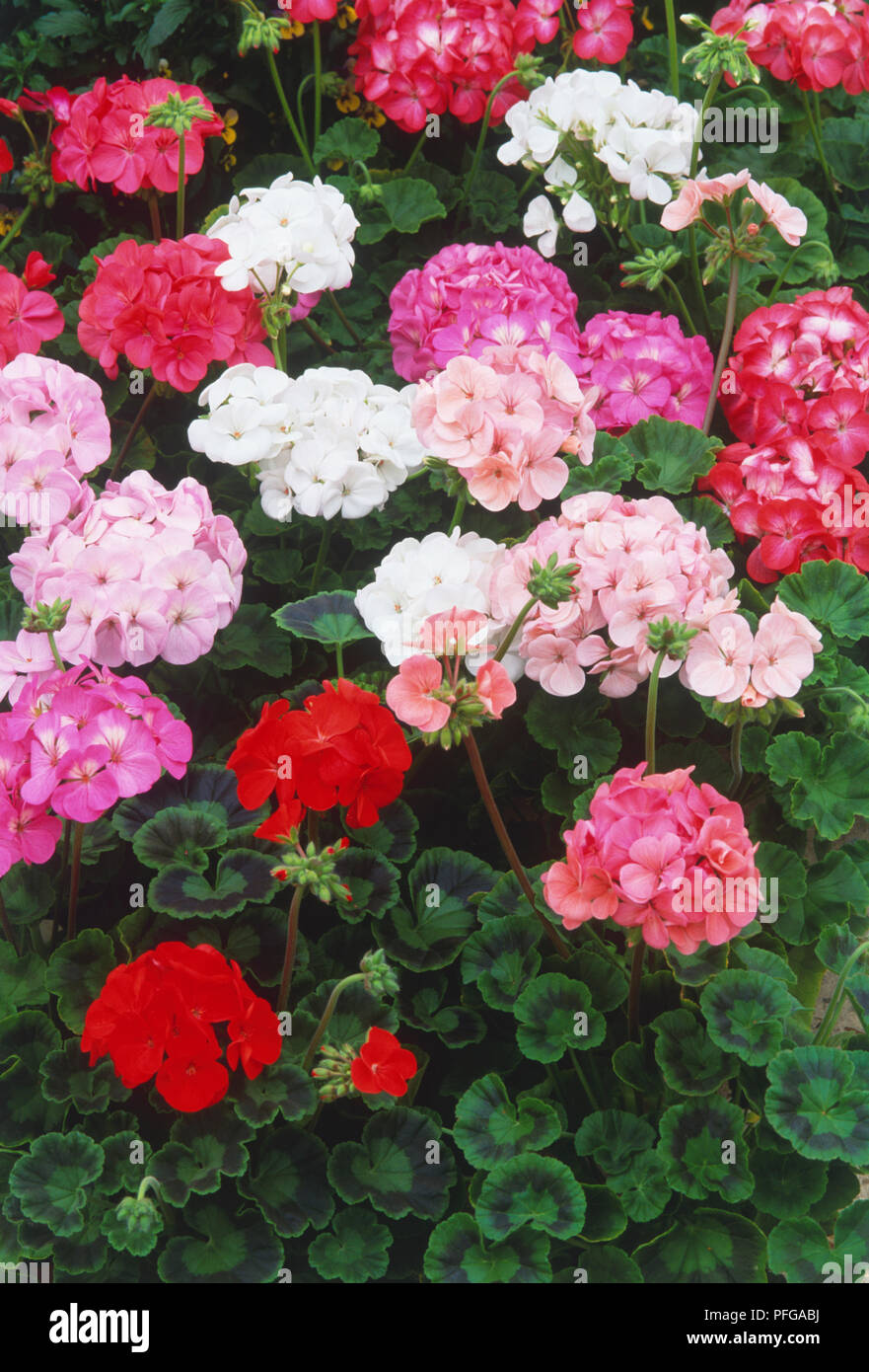 Pelargonium Horizon Series Umbel Like Clusters Of Pink White And