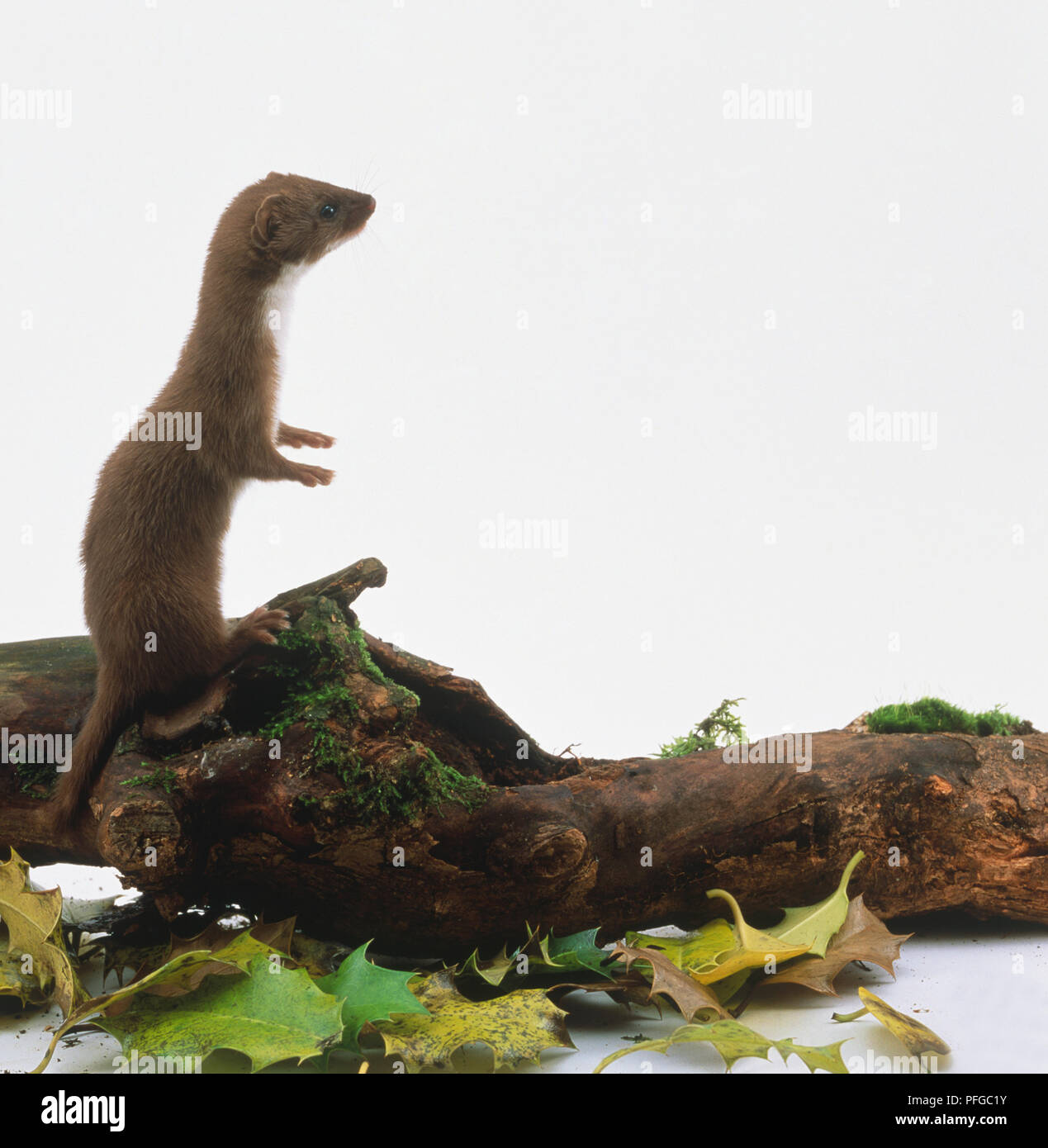 Mustela nivalis (Weasel, least weasel). Family Mustelidae. Weasel standing upright on moss-covered log - Stock Image