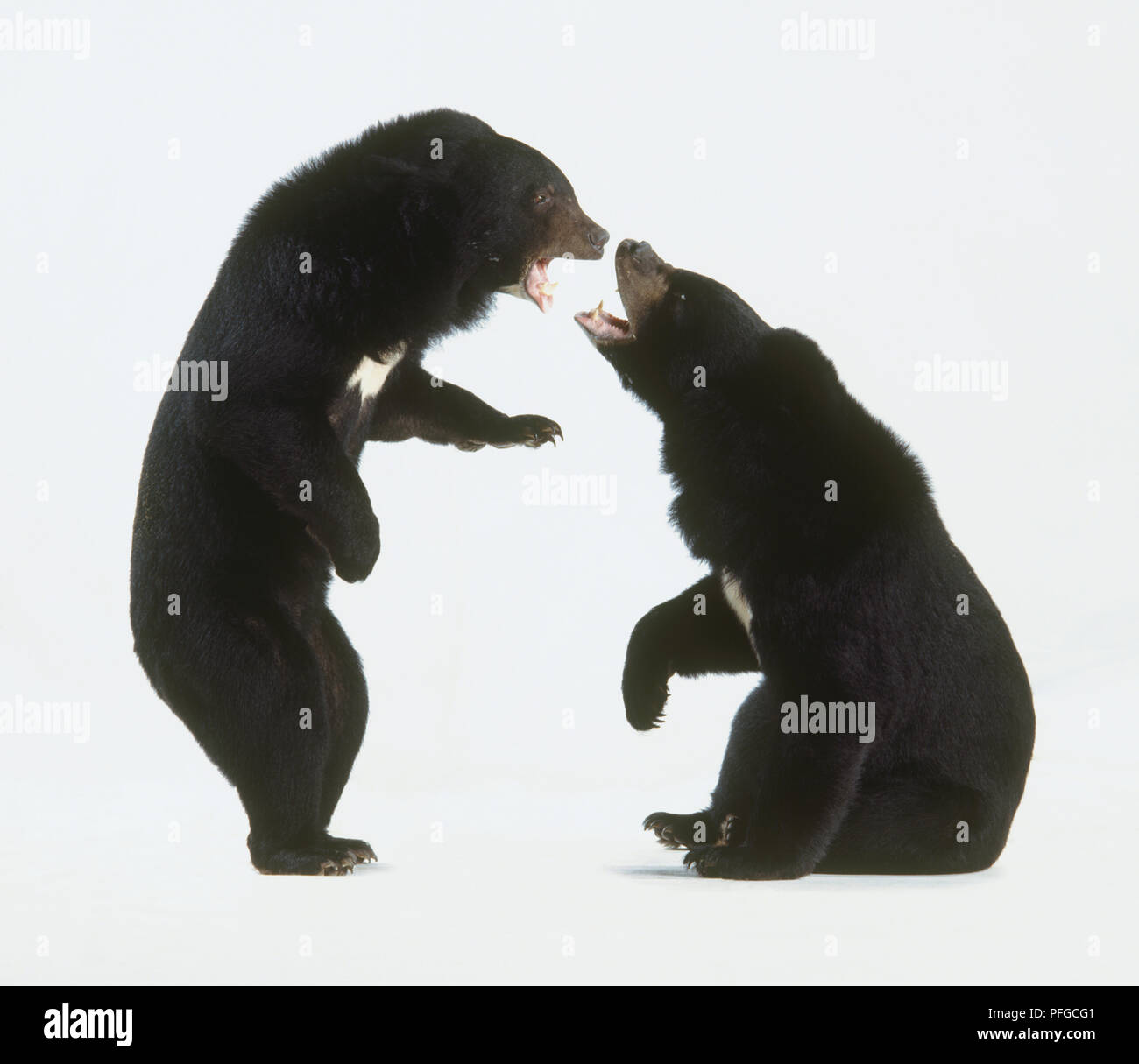 Two Asian Black Bears (Ursus thibetanus or Selenarctos thibetanus), face to face Stock Photo