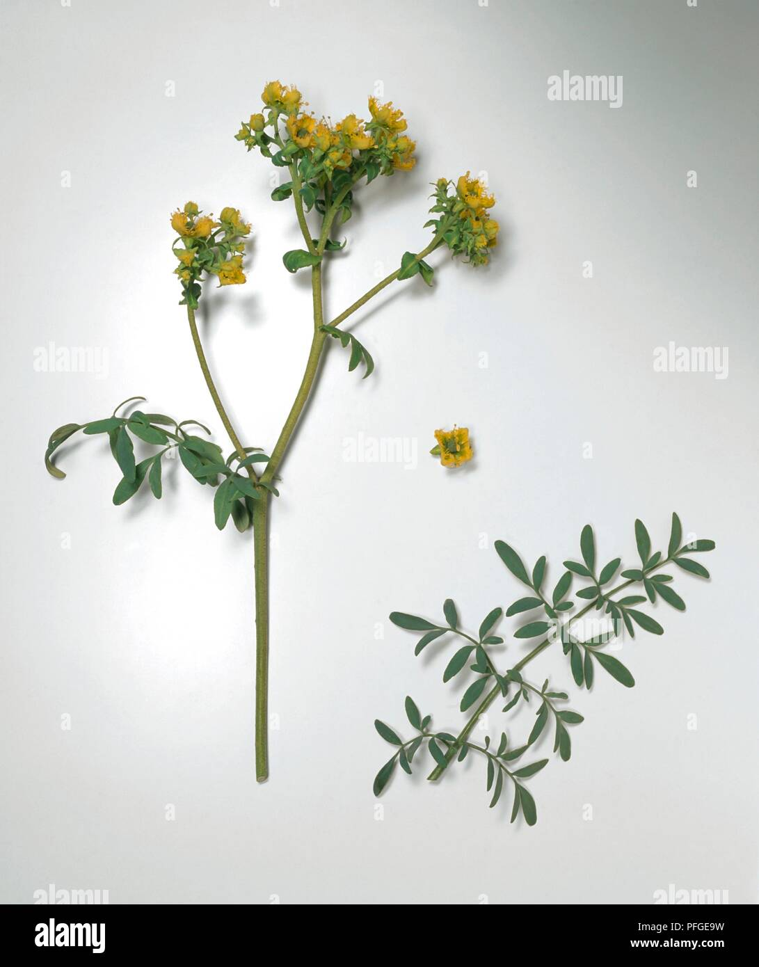 Ruta chalepensis (Fringed Rue), yellow flowers and green leaves on long stems - Stock Image