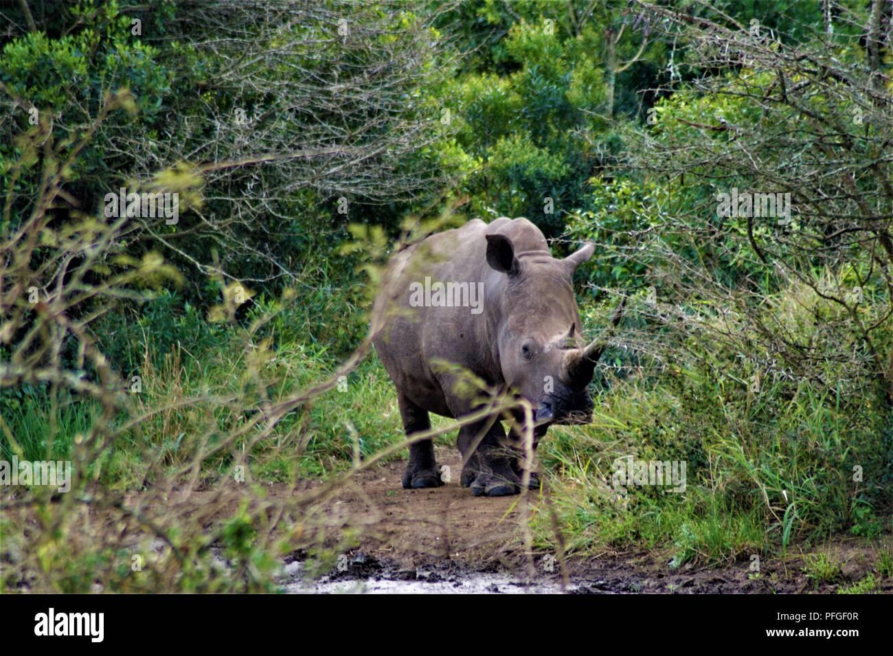 White Rhinoceros in the bush - Stock Image