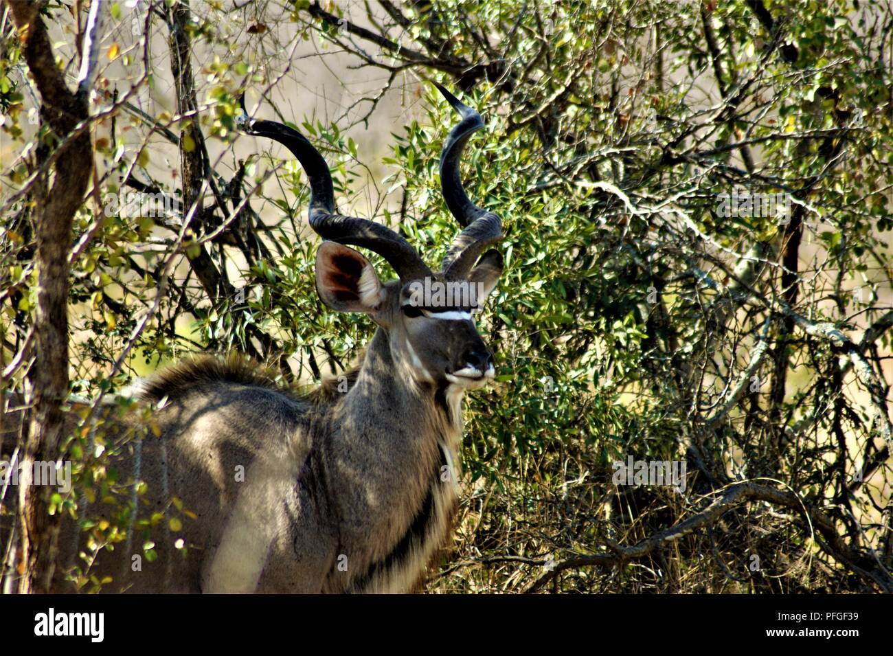 majestic kudu between the branches - Stock Image