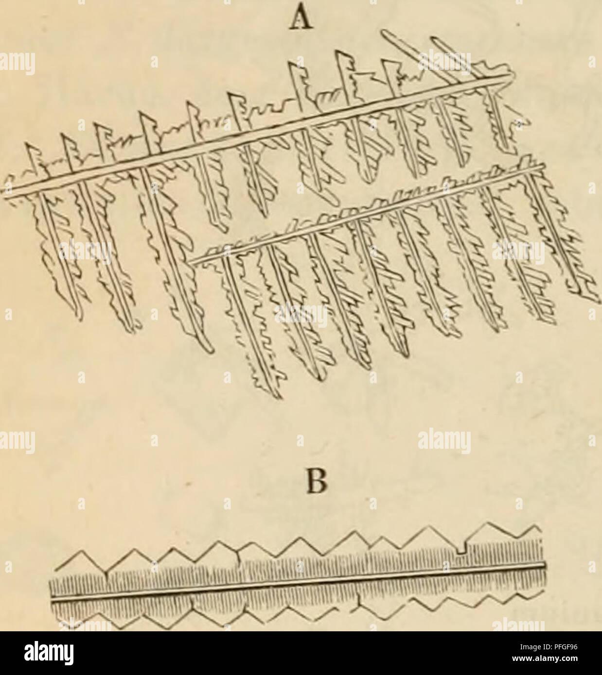. Das mikroskop. Theorie, gebrauch, geschichte und gegenwärtiger zustand desselben. Microscopes. 454 Phosphorsaures Natronammoniak; oxalsaures Ammoniak. meistens parallel (^), was beim Chlorammonium nur selten vorkommt. Die Unterscheidung vom schwefelsauren Ammonium fällt schon etwas schwerer, da manche dendritische Gestaltungen {B) mit denen dieses Salzes grosse Aehnlichkeit haben. 10. Phosphorsaures Natronammoniak (Fig. 176). Die Kry- stalle dieses Doppelsalzes, das auch im Harne vorkommt, gehören zum Fig. 17G. r,g.... ^^ Q. Phosphorsaures Ammoniak.. Please note that these images are extract Stock Photo