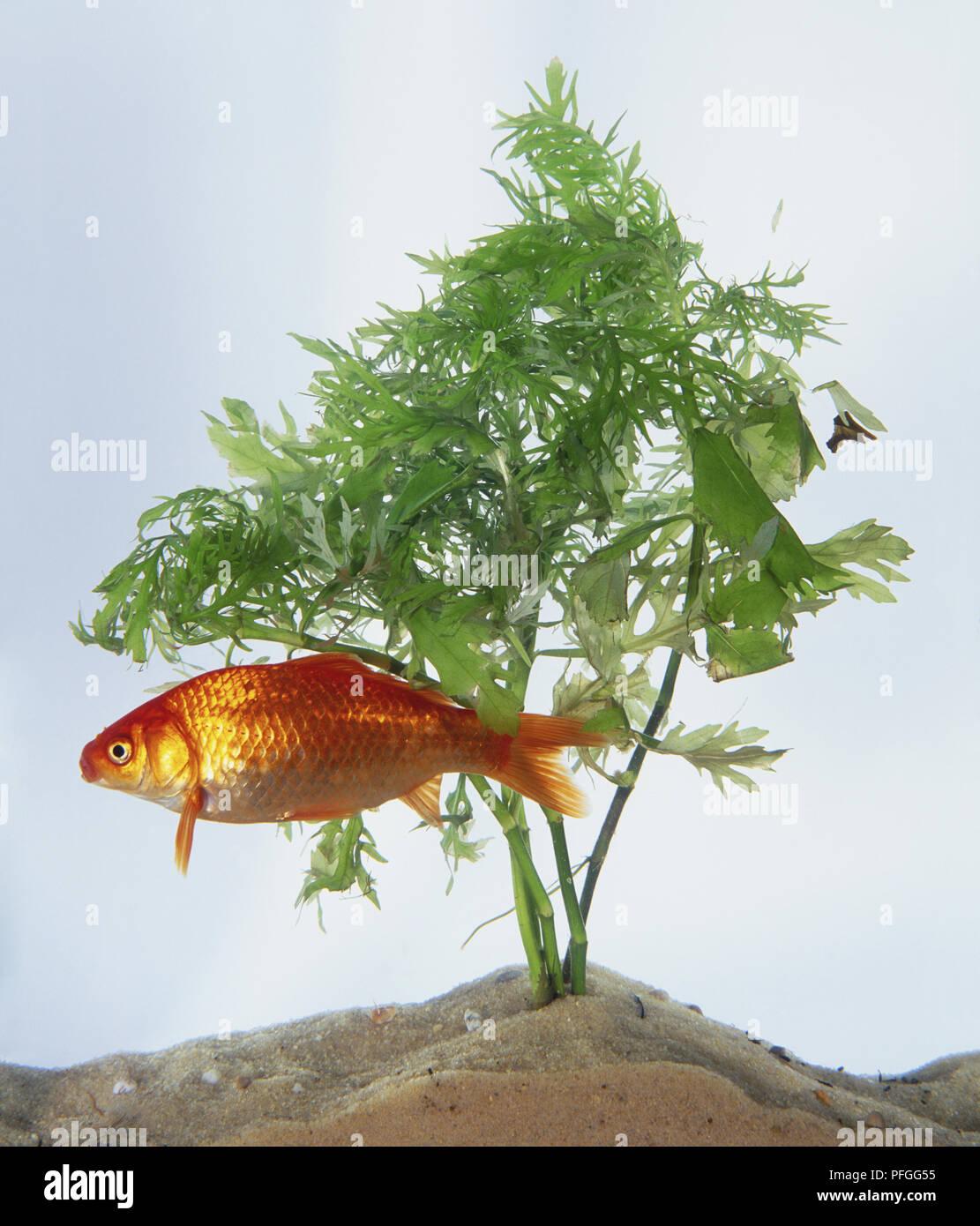 Goldfish (Carassius auratus) swimming in aquarium by green underwater plant, side view Stock Photo