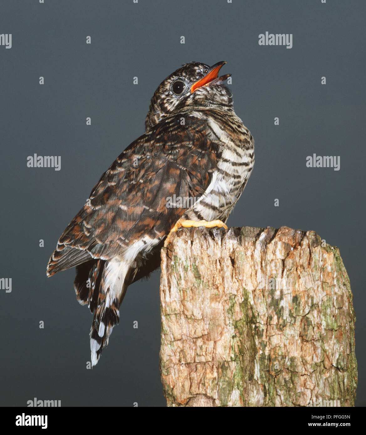 Common Cuckoo (Cuculus canorus) with its beak slightly open, perching on edge of a piece of wood, side view - Stock Image