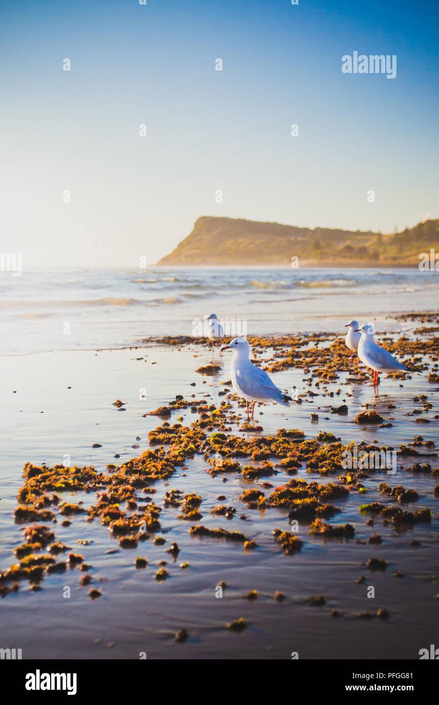 Seagulls on Seven Mile Beach in Lennox Head - Stock Image