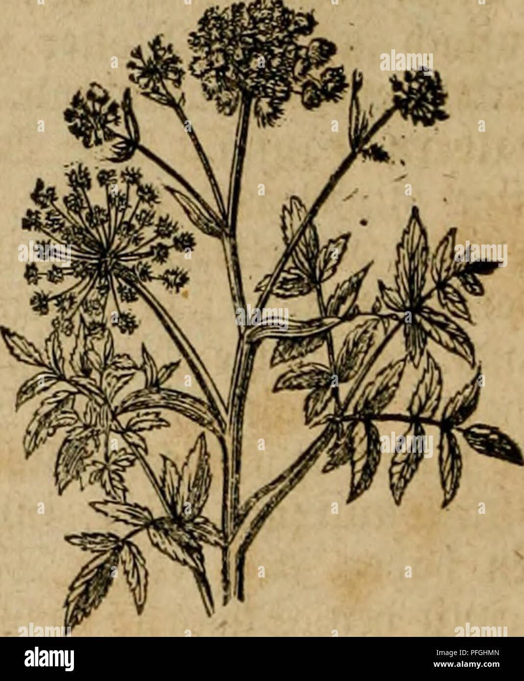 . Das grosse illustrirte Kräuter-Buch : eine ausführliche Beschreibung aller Pflanzen, mit genauer Augabe ihres Gebrauchs, Nutzens und ihrer Wirkung in der Arzneikunde. Medicinal plants; Materia medica, Vegetable; Herbs. 40 mtt^tUfe, nnb Btibct ctnctt tncl^tcrc ^oU ^ol^cti, rec^t hx^kn 33ufc^, bcffctt bteita^^tge iÃtättcr erjl nad^ bcm S5erblfil^en bcr in bcn crfteii ^ti'il^ttngStaöcn f)ervorbrccl)cnbeu S?lunien Ã)vc tooüigc 5(u§bilbung erlangen. ®en)5t}nlic[) t}abcu bie 5BUuueu eine fe^r jc^öne, ^immels kaue g^arbe, bie aber in ben ©arten, ido man fie einfach unb gefiiüt ^at, mit ro - Stock Image