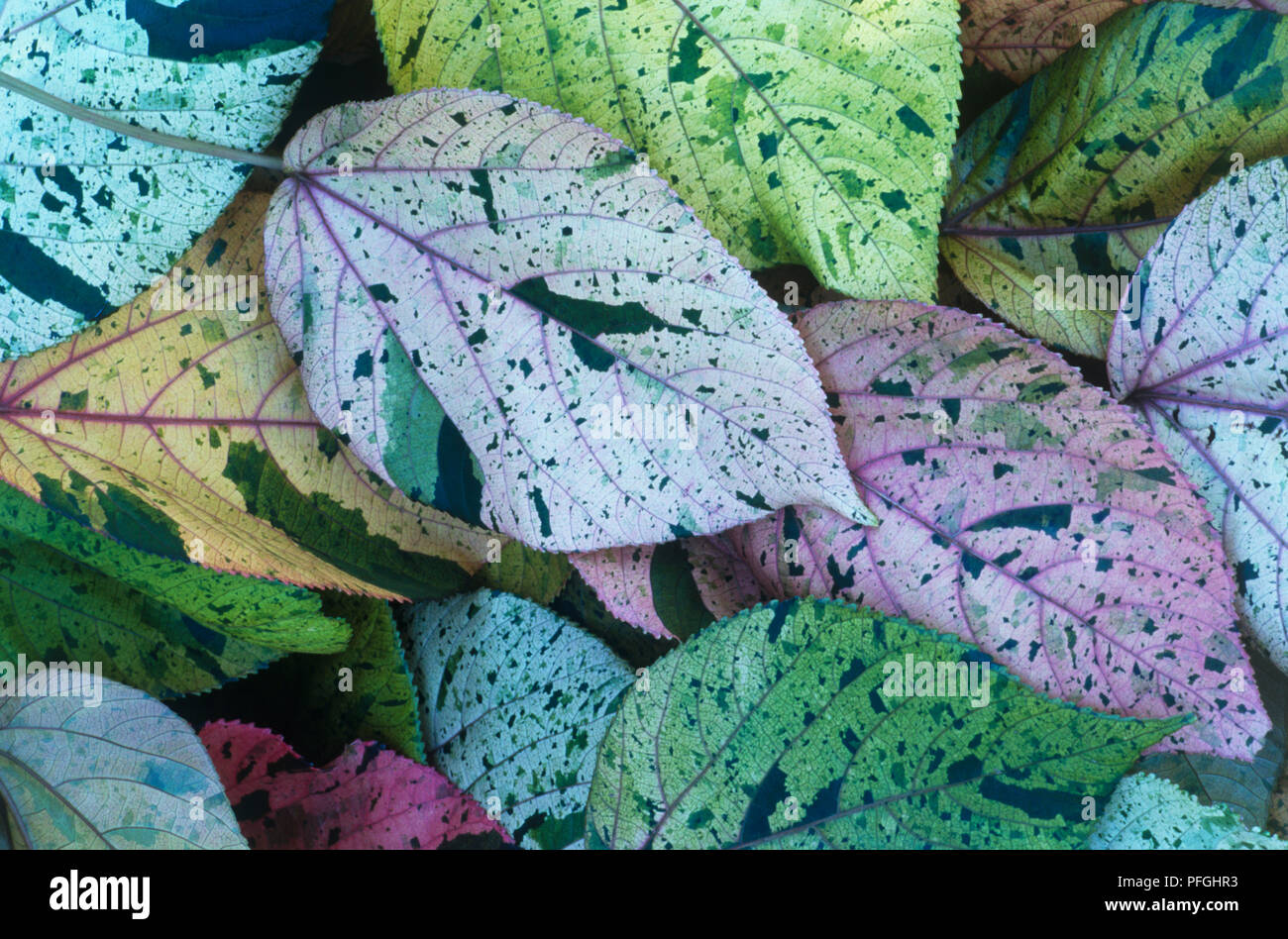 Acalypha Wilkesiana Stock Photos Acalypha Wilkesiana Stock Images