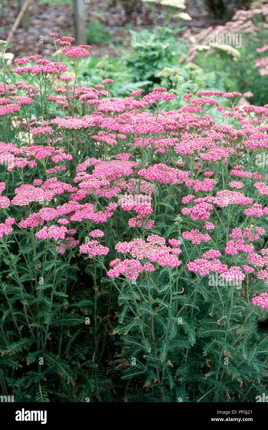Achillea millefolium cerise queen yarrow perennial with pink achillea millefolium cerise queen yarrow perennial with pink flowers and feathery green leaves mightylinksfo