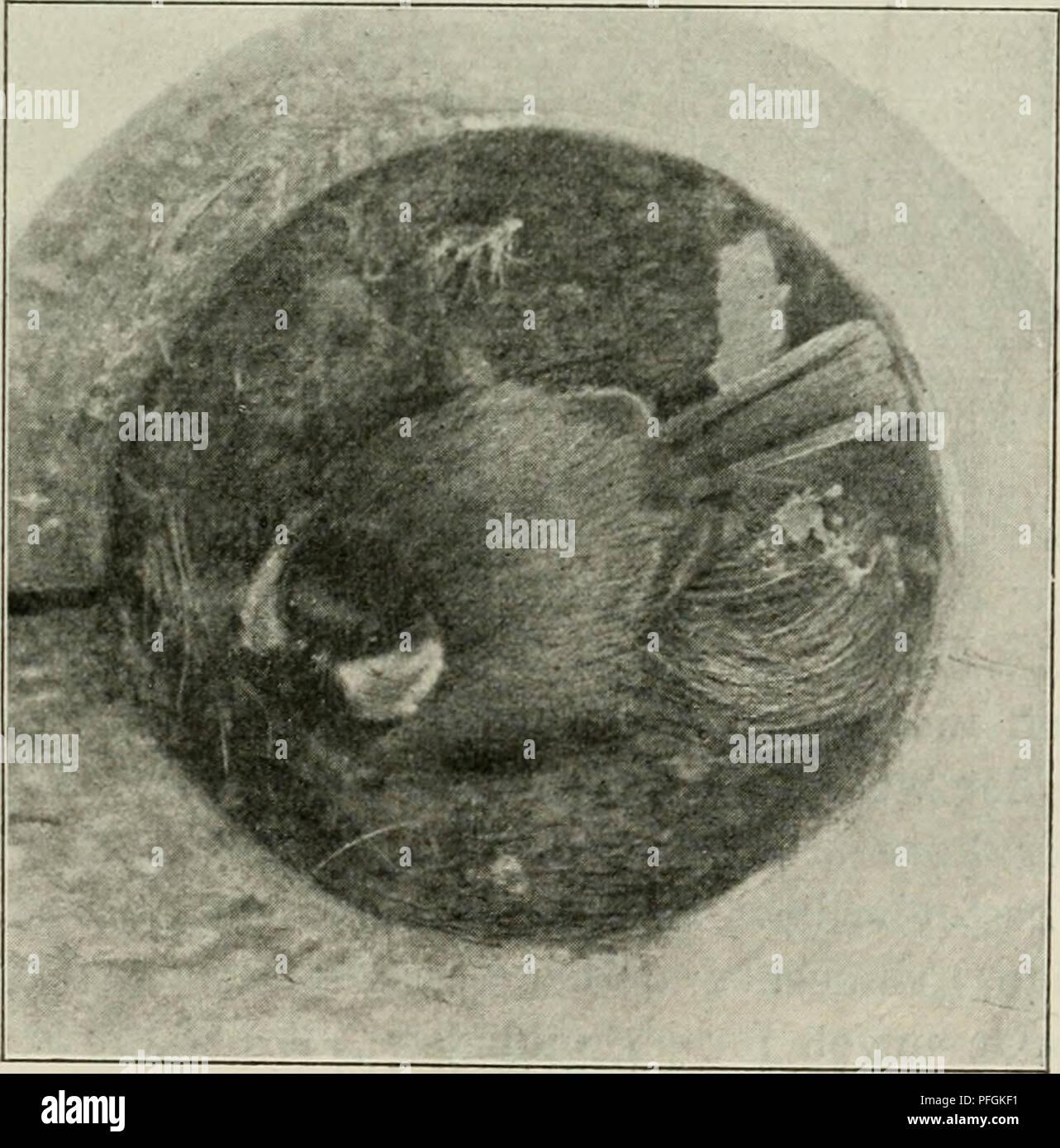 . Dansk ornithologisk forenings tidsskrift. Birds -- Periodicals; Birds -- Denmark Periodicals. Fig. 59. Musvitrede i Bunden af Kassen i Fig. 58. Fig. GO. Musvit paa Rede. hakkede i Smørret, der stod foran mig; ogsaa ind i de andre Stuer fløj den, ovenpaa i Soveværelset og ind i Verandaen; her- inde, hvor der var fuldt af grønne Planter, kunde den dog kun. Please note that these images are extracted from scanned page images that may have been digitally enhanced for readability - coloration and appearance of these illustrations may not perfectly resemble the original work.. Dansk ornitologisk f - Stock Image