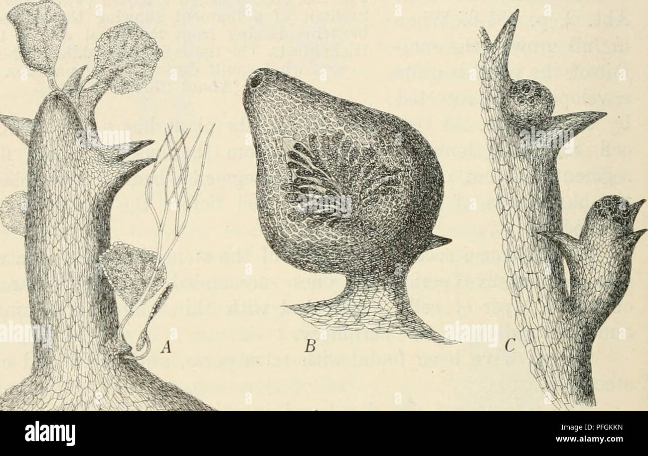 """. Dansk botanisk arkiv. Plants; Plants -- Denmark. 262 Dansk Botanisk Arkiv, Bd. 3. Nr. 1. of Japanese Algæ"""", vol. I, pi. VIII, figs. 6—7. The tetrasporangia are developed generally in abundance throughout the whole stichidial body, in every case in the short ones, in the longer ones mostly in their upper end; sometimes the tetraspores are also developed in the upper end of the filaments which bear the tetrasporic branchlets. As I have already remarked, the antheridial stands of the genus Acanthophora have only been found in Acanthophora orien- talis. AsivENASY has described and figured t - Stock Image"""