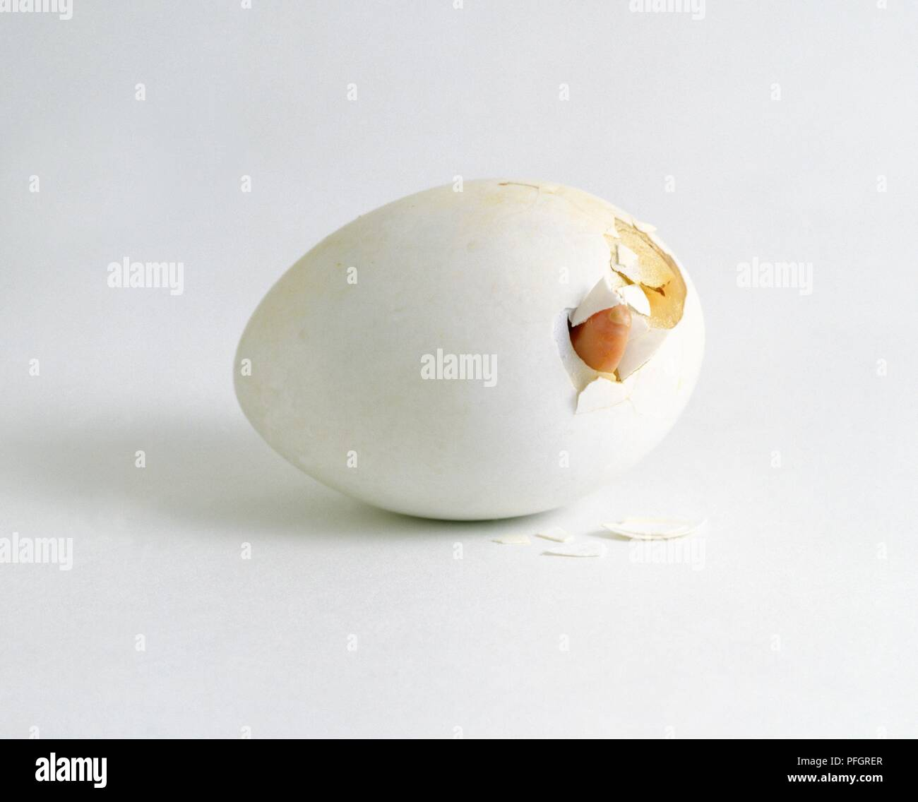 Aylesbury duck chick poking trough shell - Stock Image