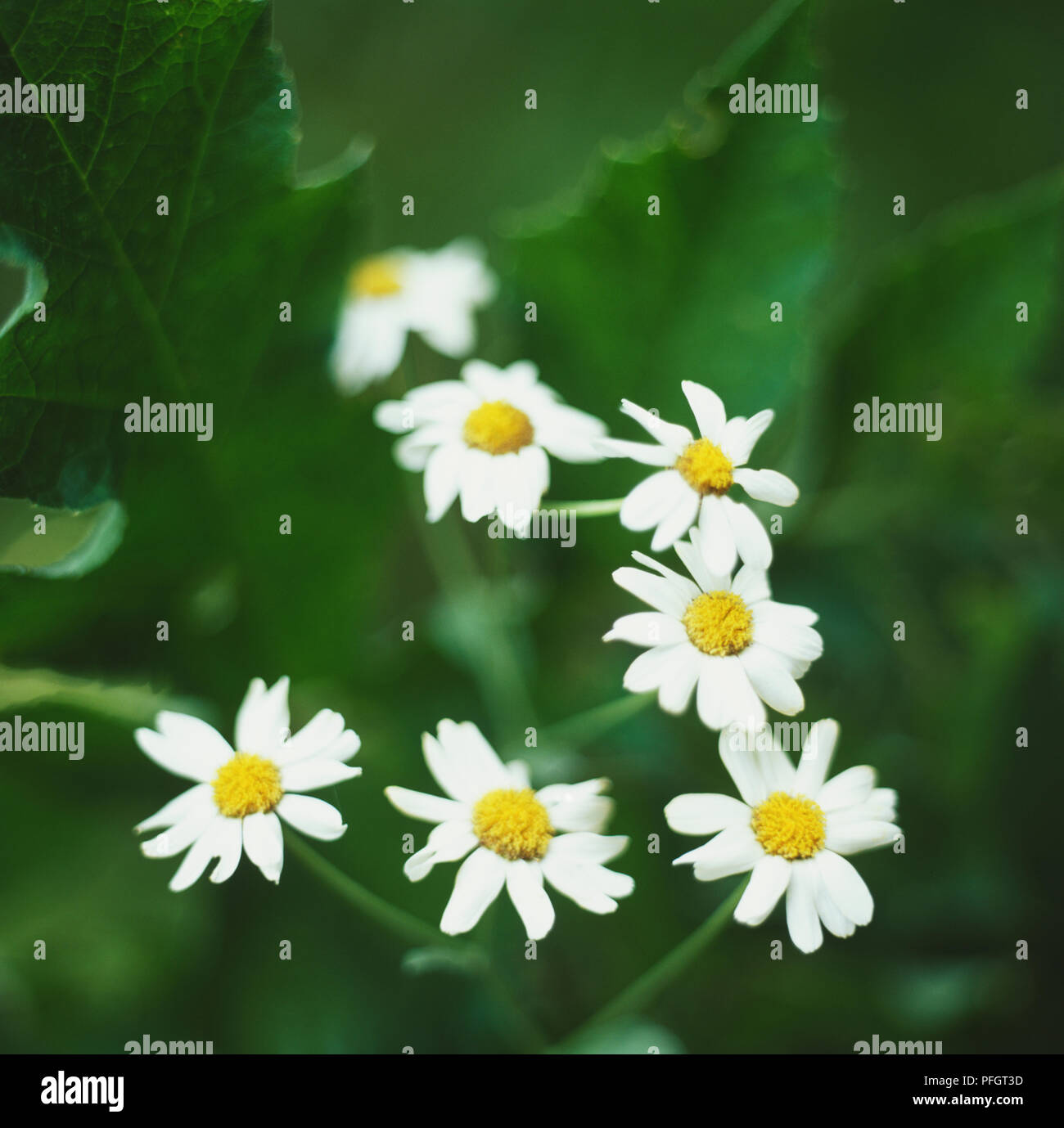 Alecost balsamita tanacetum balsamita clusters of small white alecost balsamita tanacetum balsamita clusters of small white yellow eyed daisy flowers close up izmirmasajfo