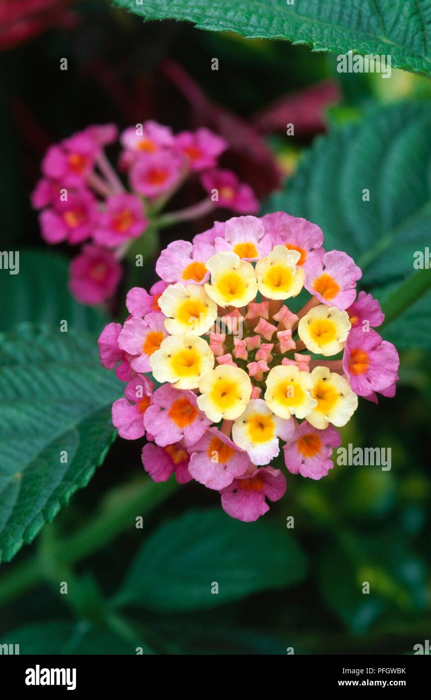 Lantana Camara Feston Rose Cluster Of Small Yellow And Pink
