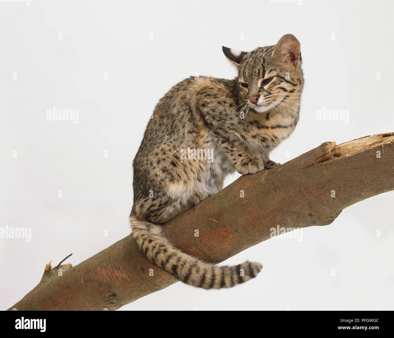 Felis geoffroyi (Geoffroy's cat). Family Felidae. A tiny wild cat crouched on a tree branch. Spotted ochre and grey coat. - Stock Image