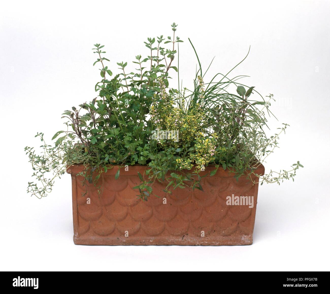 Green leaved herbs in terracotta window box Stock Photo